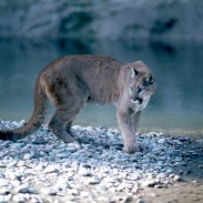 A mountain lion, similar to one seen in this file photo taken in Grand Teton National Park, nearly killed a Canadian angler's dog.