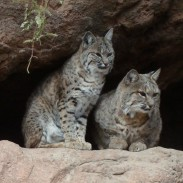 Bobcats were once a rare sight in Illinois, but their comeback has been so successful that hunters will be able to harvest them beginning next year.