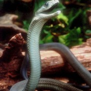 There are many species of venomous snakes in Africa, such as this deadly black mamba.