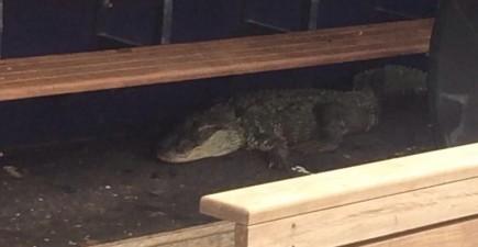alligatordugout