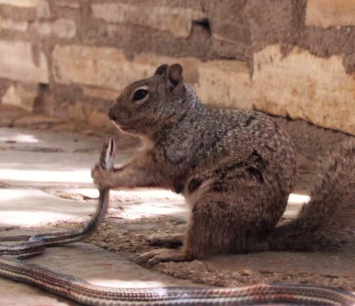 Photo: Texas Squirrel About To Chow Down On Snake