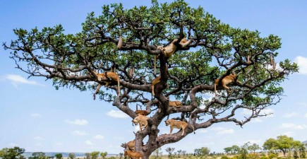 Can you count how many lions are in this tree?