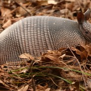 Armadillos are generally harmless creatures, but concern is rising in Florida after nine cases of leprosy have been reported this year.