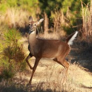 Are whitetail deer mistaking white canvas bags for an alarm signal? If so, it might be good news for agencies looking to prevent traffic accidents.