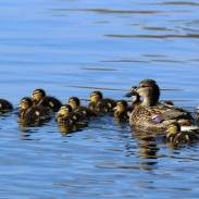 Duck populations across US and Canada are still high, and mallards are doing especially well.