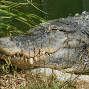 A 400-pound alligator was shot dead after attacking and consuming a Texas man.