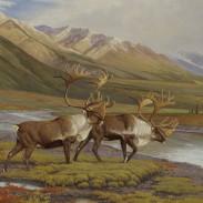 25-Barren Ground Caribou_PG_396-405_lr