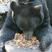 Bears are notoriously difficult to hunt and bring to a bait site during the daylight, but the right bait can really help. This bear is devouring the goodies.