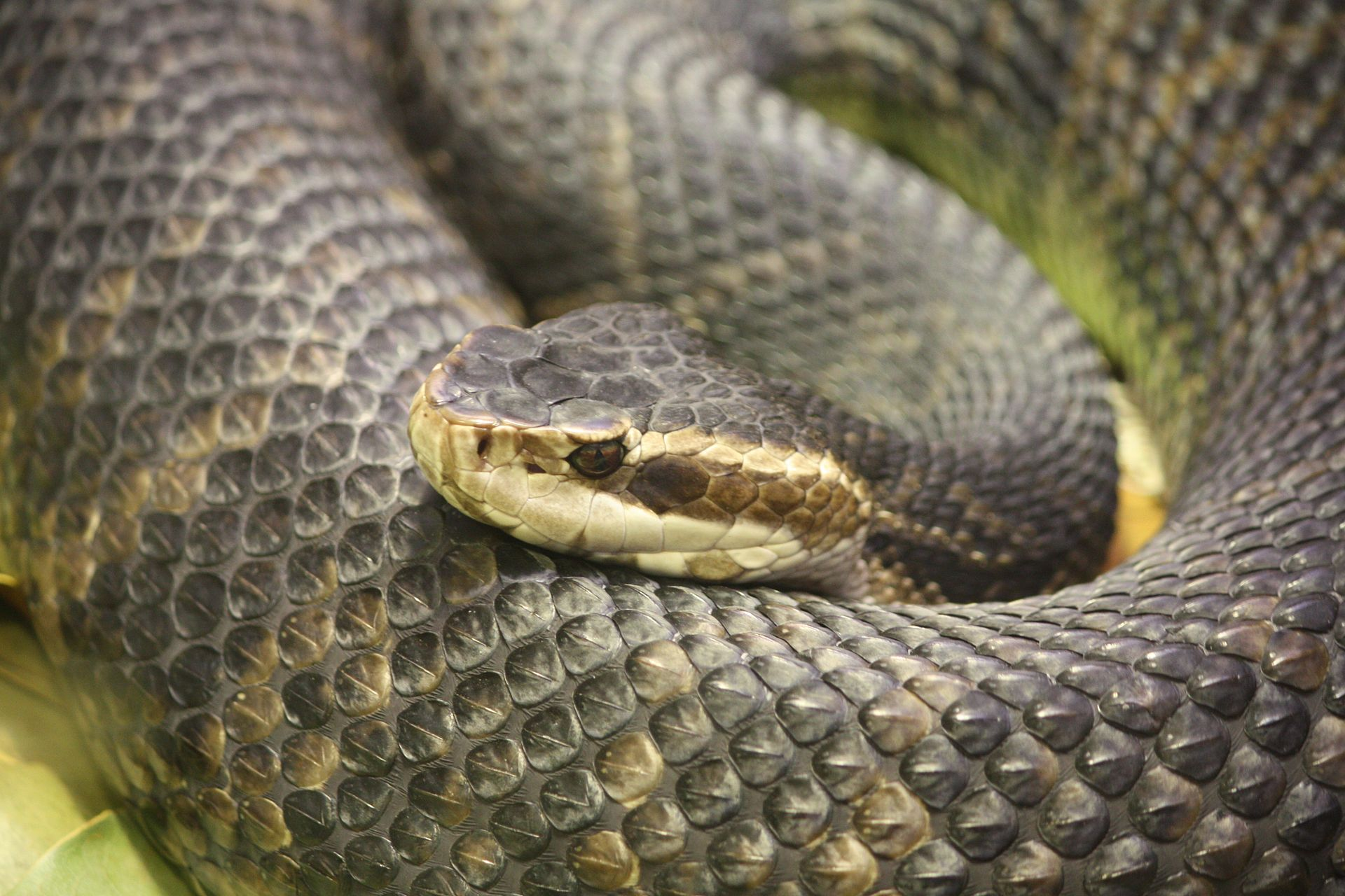 The Top 10 Deadliest Snakes in North America - Bond Arms