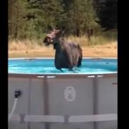moose pool