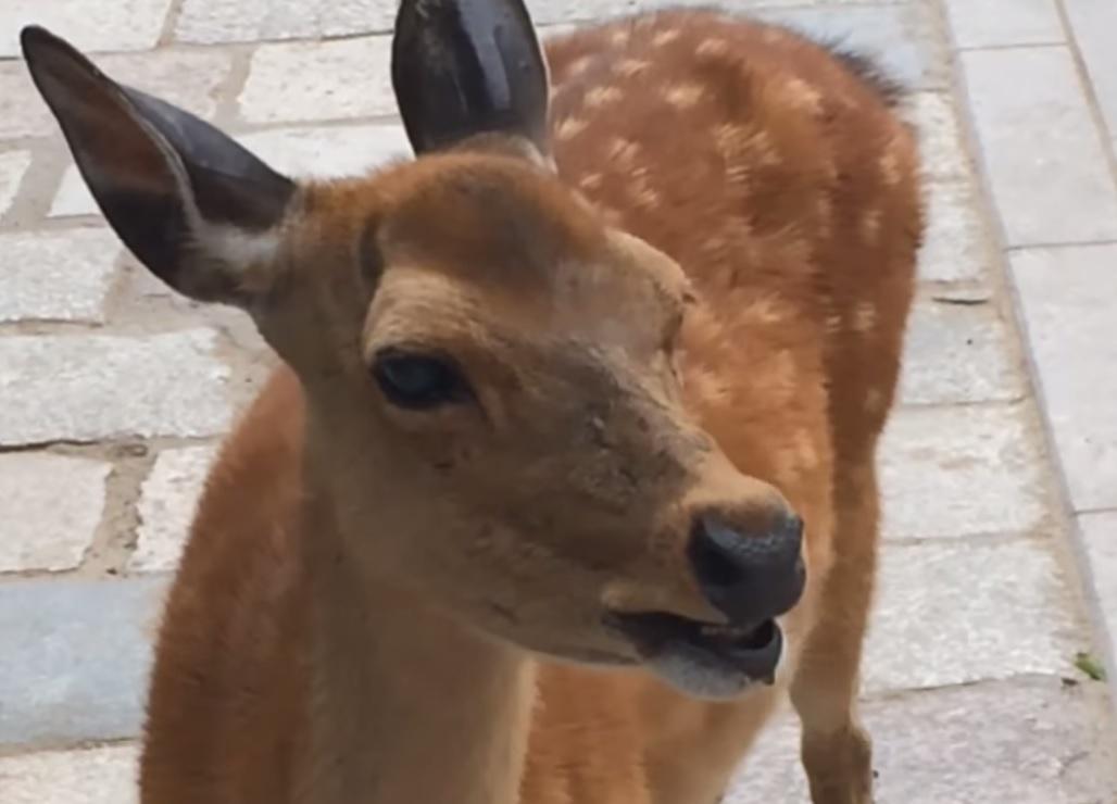 Video Sacred Japanese Deer Screams Bloody Murder Outdoorhub