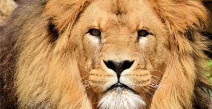 lion2+