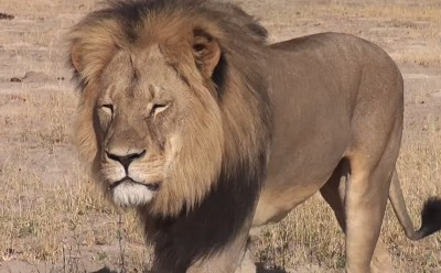 Cecil the lion, a popular tourist attraction, was killed in what many are now calling an illegal hunt.