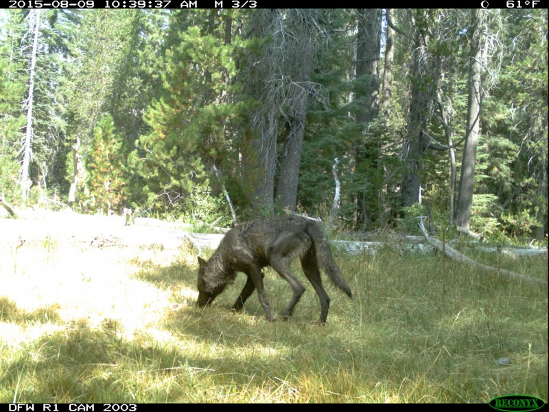 It is illegal in California to kill a wolf for any reason other than self-defense.
