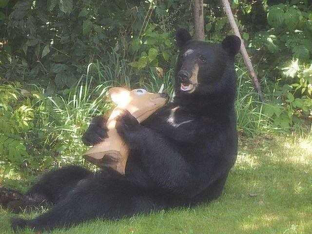 Photos Black Bear Mistakes Fake Deer For The Real Deal