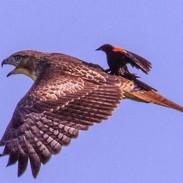 hawkbird
