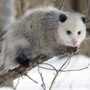 Very few people can look at this opossum and see a gourmet dinner. We can't either.