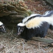 Are skunks a good choice for survival trapping. No. Not really. However, if that's all you have...