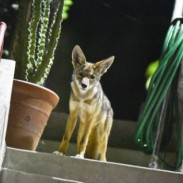 C-144, one of the two adult coyotes known to be living near downtown Los Angeles.