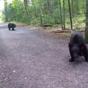 bear encounter