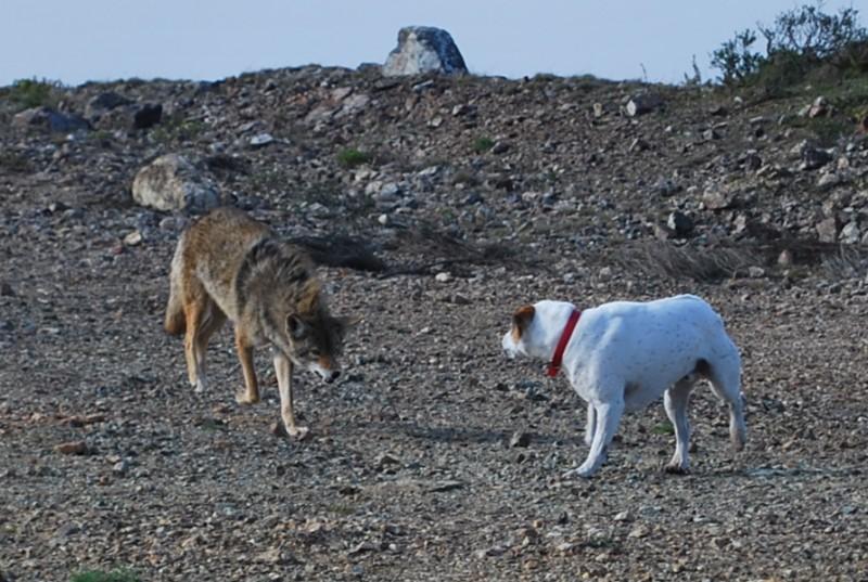 Coyote_vs_Dog