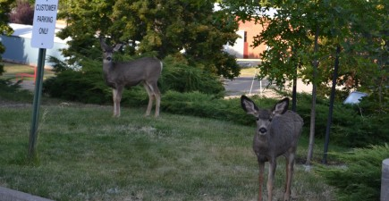 One town in Oregon is experiencing a rather unique deer problem.