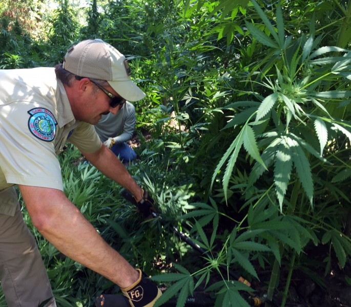Game wardens remove plants from a cleverly hidden marijuana farm in Texas.