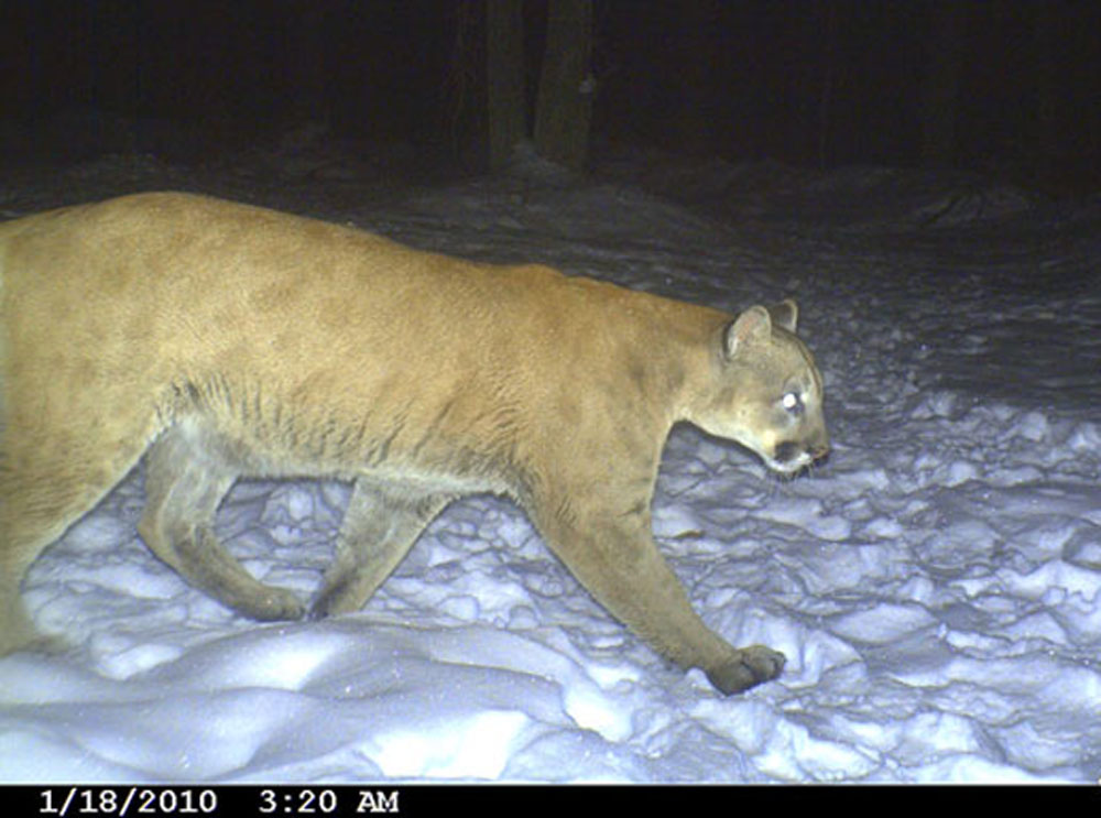 wisconsin cougars