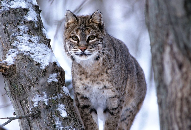 Bobcats are one of many Wisconsin animals that have been mistaken for cougars in recent years. Other false sightings proved to be yellow Labradors, red fox, and common housecats. Wisconsin DNR photo by Herb Lange.