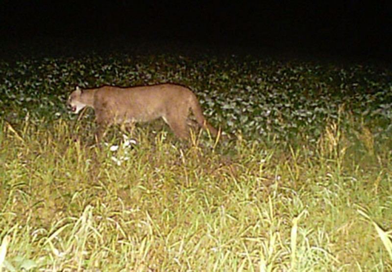 The Wisconsin DNR has confirmed at least one cougar sighting every year since 2008, including three this year, all in July, all possibly the same cat. Image courtesy Wisconsin DNR.