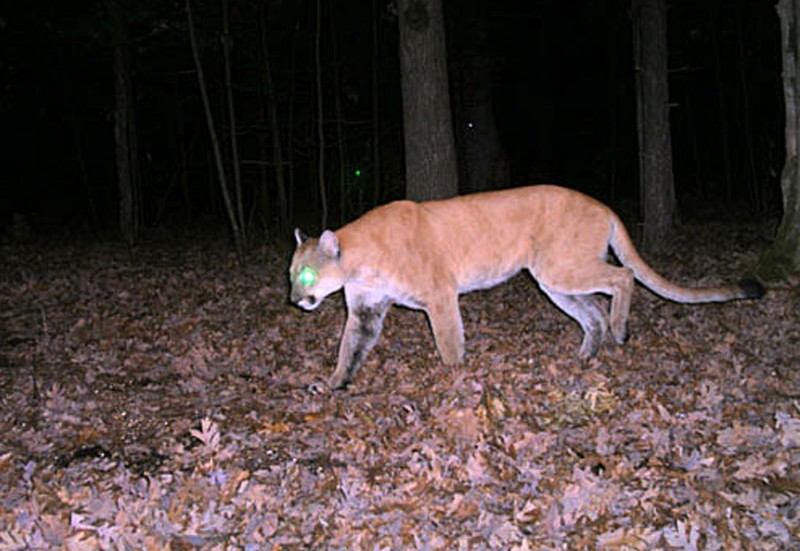 Even though most cougar sightings prove erroneous, the Wisconsin DNR encourages people to report possible sightings as soon as possible. Image courtesy Wisconsin DNR.