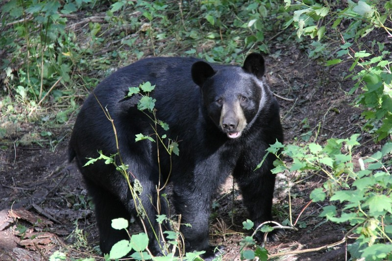 The bears in the remote area the author hunted show little fear of humans.