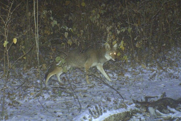 Seeing coyotes in your food plot is never a pleasant thing. Coyotes kill an alarming number of deer each year, particularly fawns.