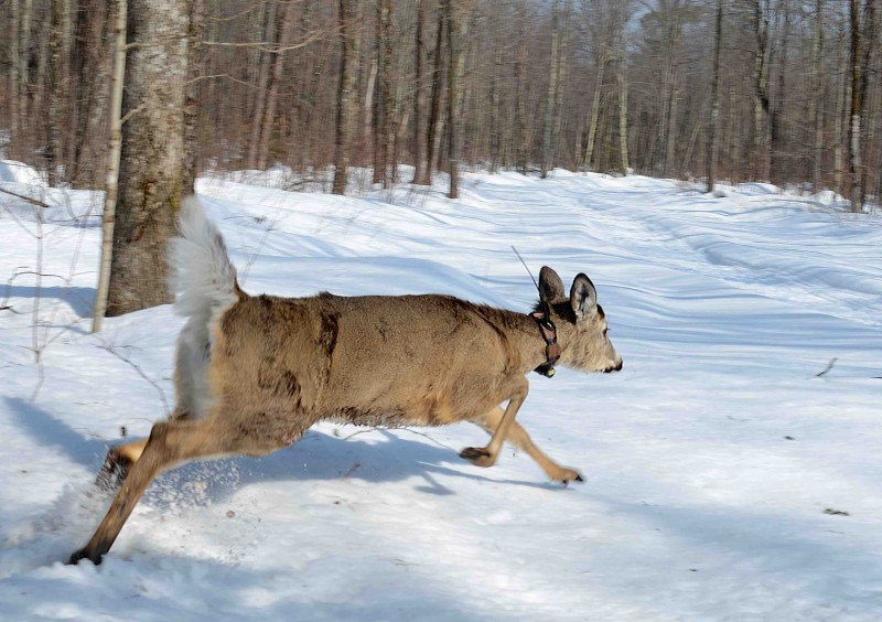 Scientists could use drones to keep better track of whitetail deer and animals fitted with monitoring collars. Image courtesy of Wisconsin DNR.