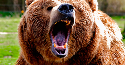 Sticking an arm down the throat of a bear is regarded by some as an effective last-ditch tactic for fending off an attack.