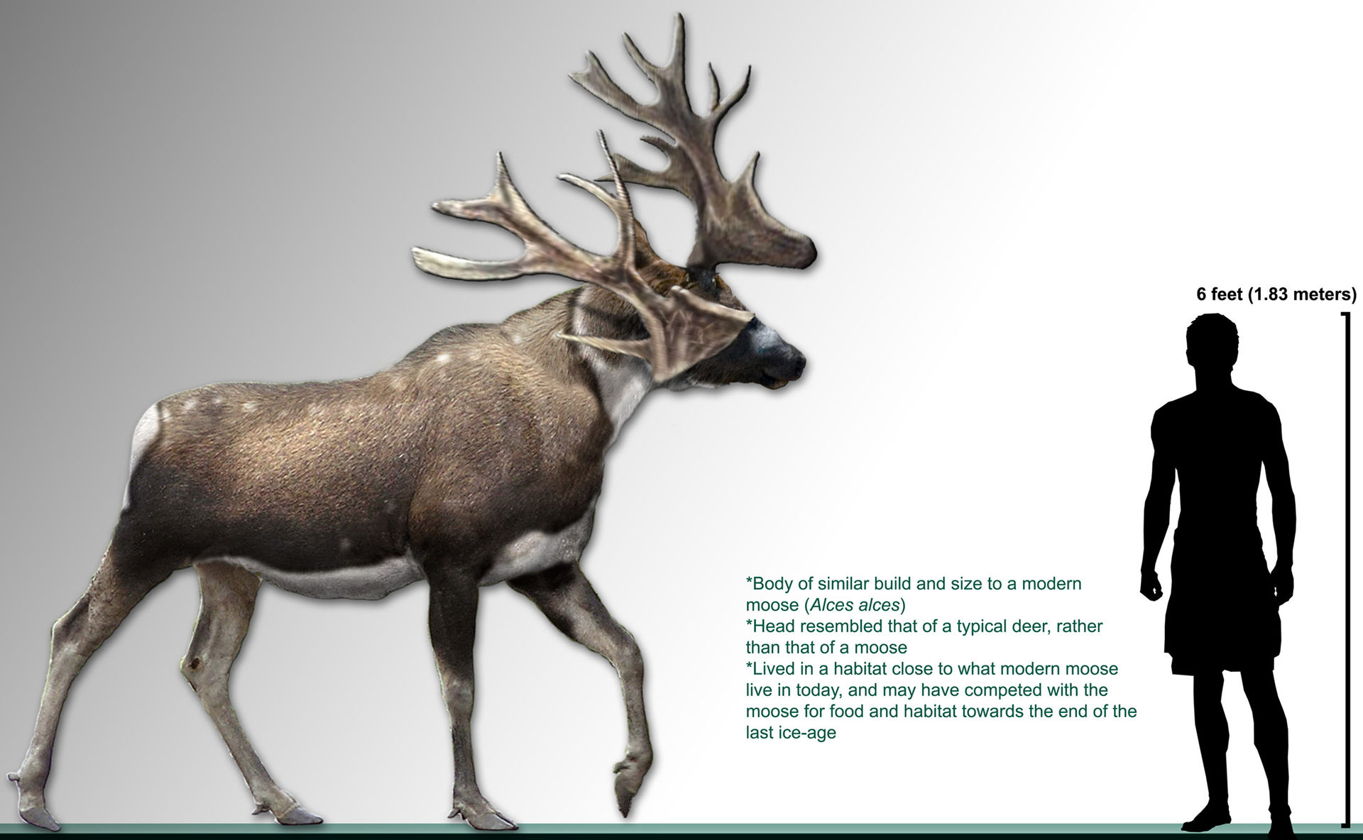 File:The male and female Irish elk (Cervus megaceros), now extinc ...