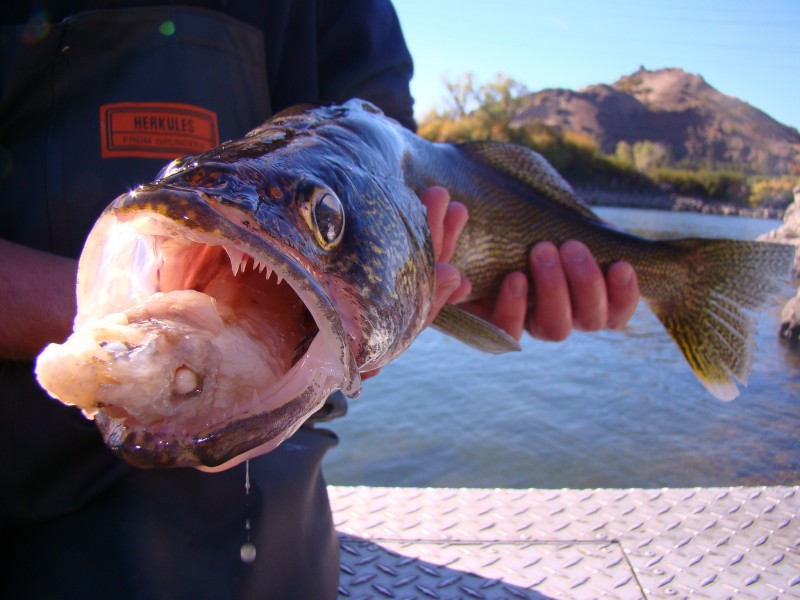 A walleye with a partially digested fish in its mouth. Neither of these fish are infected with heterosporis, however fish can also contract this parasite by eating affected prey.