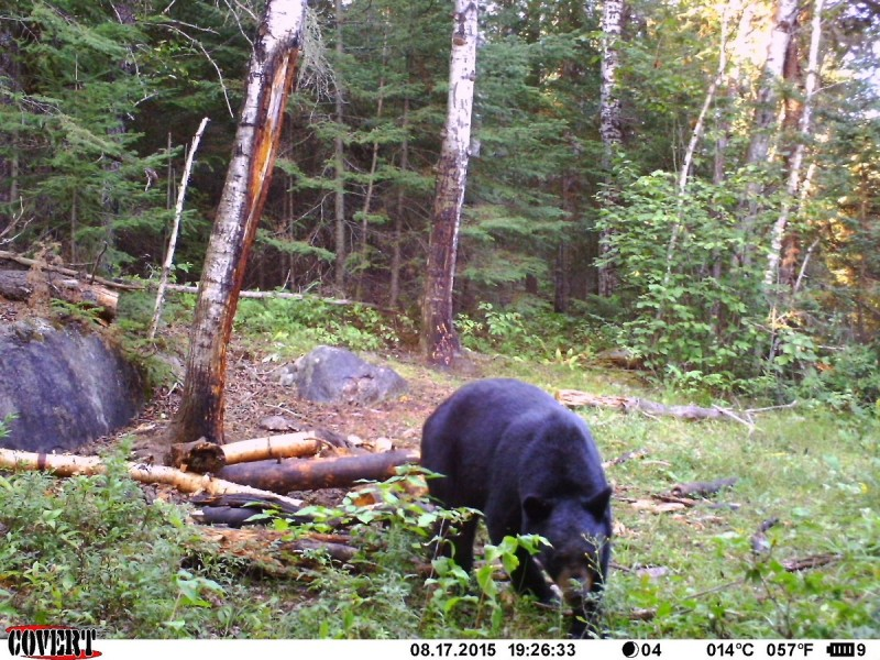 One of the bears the author saw on his Covert scouting camera during his semi-guided hunt.