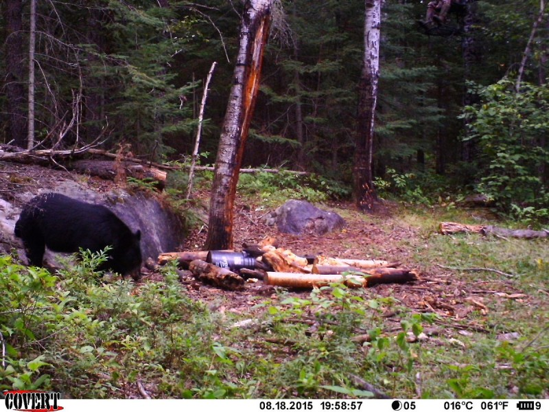 The author's bear approaches a bait site. The author can be seen in the upper-right corner.