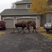 moosefight