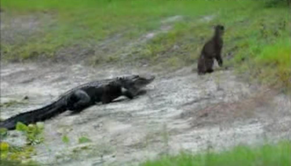 alligator tries to eat bobcat sitting on florida shore