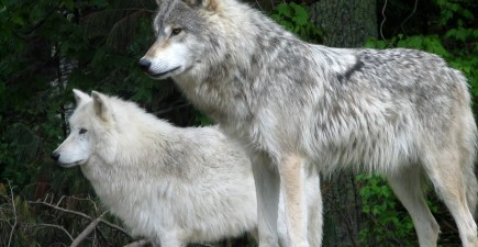 Healthy elk and deer populations may the keep wolves at bay, but what happens when ungulate numbers take a dip?