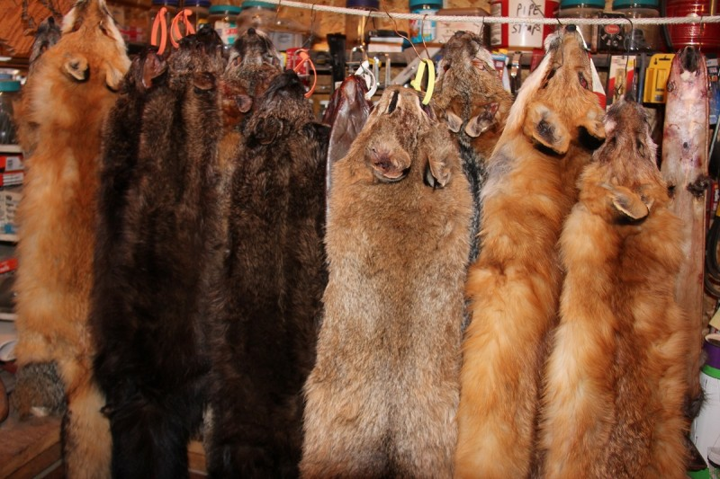 Coyote pelts from most areas of the United States have some value and the right pelts from the right places can fetch nearly $100 each as of late.