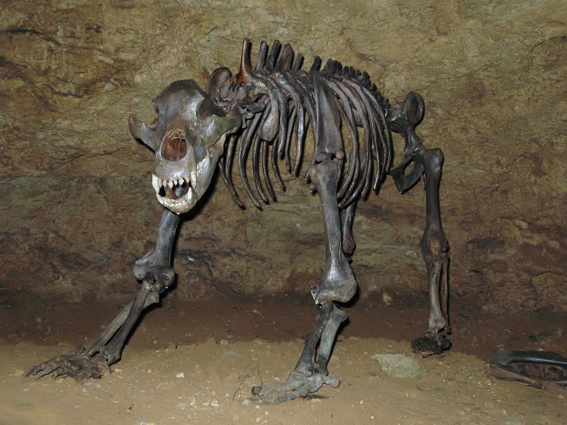Bones of a cave bear found near Devil's cave. Image from Ra'ike on the Wikimedia Commons.