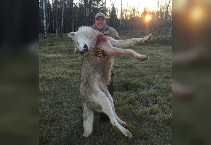 mi massive wolf rumored to be shot in michigan actually from canada