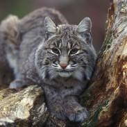 800px-Bobcat_sitting_in_tree
