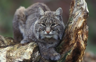 800px-Bobcat_sitting_in_tree