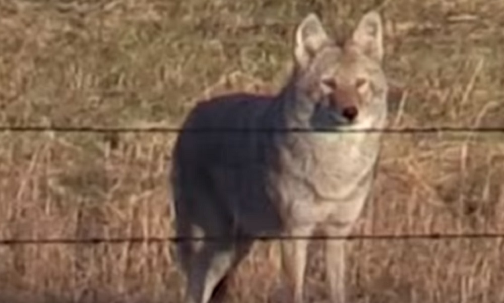 Video: Is This the Largest Coyote Ever Killed on Film? | OutdoorHub