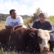 Feral bulls may be smaller than their domestic counterparts, but they can still weigh over 2,000 pounds.