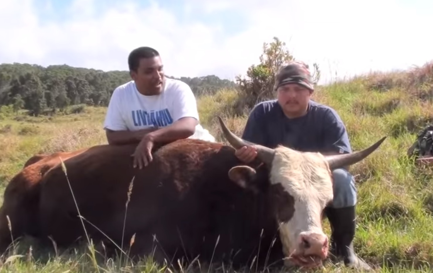 Strange stories about cows